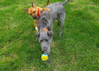 The Brampton Dog Walker